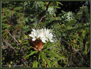 May30th_018_GraniteTors_RhododendronTomentosumRC