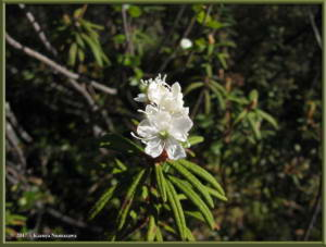 May30th_019_GraniteTors_RhododendronTomentosumRC