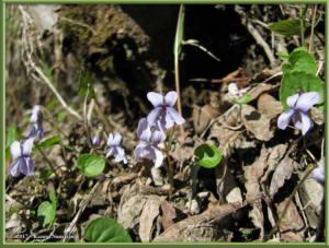 May30th_056_GraniteTors_ViolaEpipsilaSspRepensRC