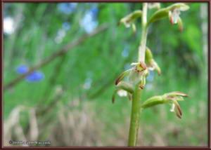 June15_09_Corallorhiza_trifida_OnPropertyRC