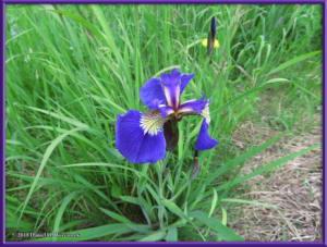 June24_10_OldSteeseHwy_IrisSetosaRC
