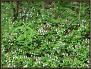 June27_12_LinnaeaBorealis_TwinflowerRC