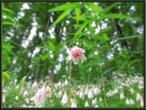 June27_17_LinnaeaBorealis_TwinflowerRC