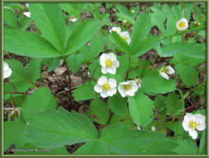 June27_24_WildStrawberryRC
