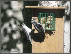 June28_2_Woodpecker_Young_SuetFeederRC