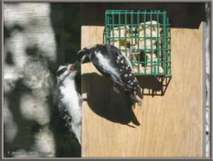 June28_7_Woodpecker_Young_SuetFeederRC