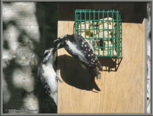June28_8_Woodpecker_Young_SuetFeederRC