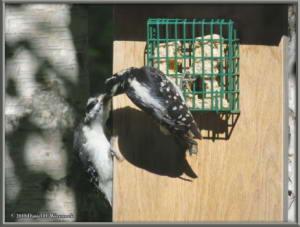 June28_8_Woodpecker_Young_SuetFeederRC
