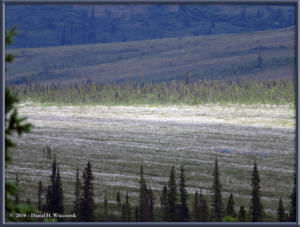 Jun20_11_SteeseHwy_TwelvemileArea_CottongrassRC