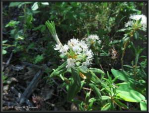 June9_12_UpperGrapefruit_LabradorTeaRhododendronTomentosumRC