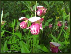 June9_16_UpperGrapefruit_CypripediumGuttatumRC