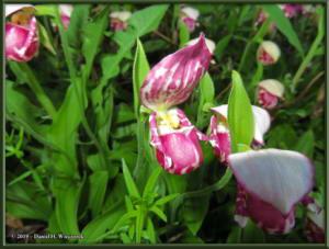 June9_22_UpperGrapefruit_CypripediumGuttatumRC