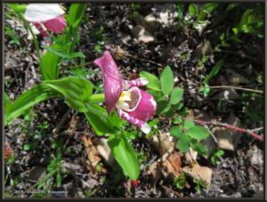 June9_35_UpperGrapefruit_CypripediumGuttatumRC