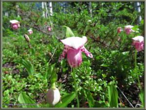 June9_38_UpperGrapefruit_CypripediumGuttatumRC