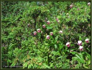 June9_52_UpperGrapefruit_CypripediumGuttatumRC