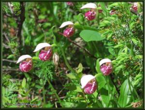 June9_55_UpperGrapefruit_CypripediumGuttatumRC