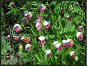 June9_70_UpperGrapefruit_CypripediumGuttatumRC