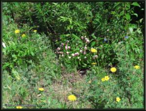 June9_73_UpperGrapefruit_CypripediumGuttatumRC