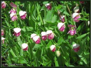 June9_75_UpperGrapefruit_CypripediumGuttatumRC