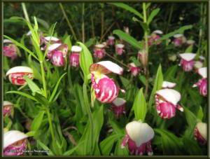 June9th_001_GrapefruitRocks_CypripediumGuttatumRC