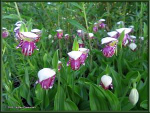 June9th_015_GrapefruitRocks_CypripediumGuttatumRC