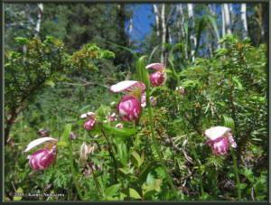 June9th_035_GrapefruitRocks_CypripediumGuttatumRC