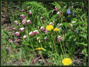 June9th_062_GrapefruitRocks_CypripediumGuttatumRC