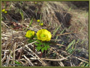 May27th_006_TwelvemileSummit_RanunculusNivalisRC