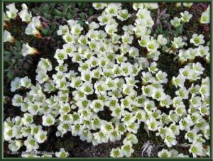 May28_49_EagleSummit_Diapensia_lapponica_ssp_obovataRC