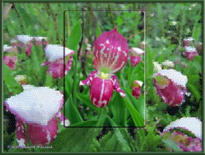 Jun13_18a_GrapefruitRocks_CypripediumGuttatumRC