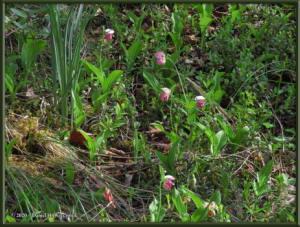 Jun13_50_GrapefruitRocks_CypripediumGuttatumRC