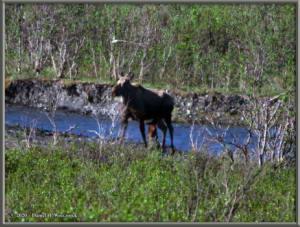 June10_16_DenaliNP_Moose_CalfRC