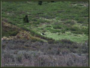 June10_50_Caribou_DenaliNPRC
