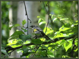 June13th_063_YellowRumpedWarblerRC