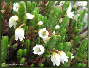 June8_101_DenaliPk_SavageAlpineTrail_FlowerRC