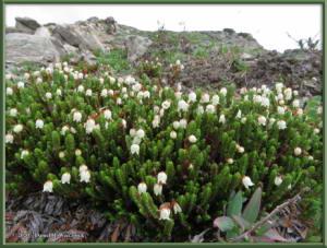 June8_102_DenaliPk_SavageAlpineTrail_FlowerRC