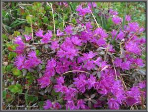 June8_117_DenaliPk_SavageAlpineTrail_RhododendronRC