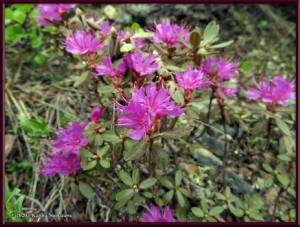 June8th_002_DenaliSavageAlpineTrail_RhododendronLapponicumRC