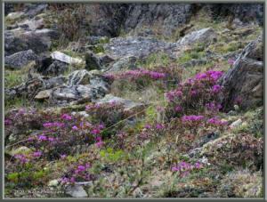 June8th_021_DenaliSavageAlpineTrail_RhododendronLapponicumRC