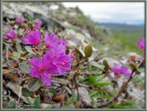 June8th_062_DenaliSavageAlpineTrail_RhododendronLapponicumRC