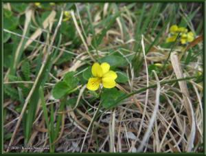 June8th_146_DenaliSavageAlpineTrail_ViolaBifloraRC