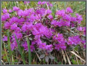 June8th_241_DenaliSavageAlpineTrail_RhododendronLapponicumRC