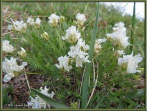 June9th_004_BisonGulch_AstragalusAlpinusVarAlpinusRC