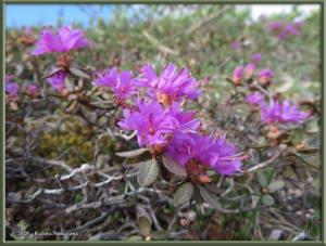 June9th_014_BisonGulch_RhododendronLapponicumRC