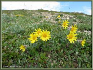 June9th_015_BisonGulch_ArnicaFrigidaRC