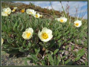 June9th_044_BisonGulch_DryasOctopetalaRC