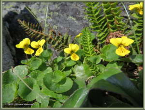 June9th_049_BisonGulch_ViolaBifloraRC