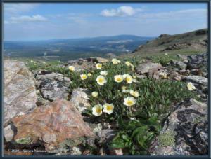 June9th_071_BisonGulch_DryasOctopetalaRC