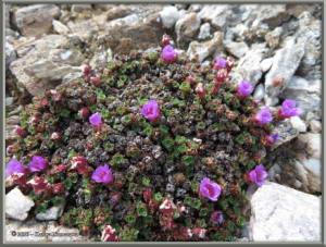 June9th_168_BisonGulch_SaxifragaOppositifoliaRC