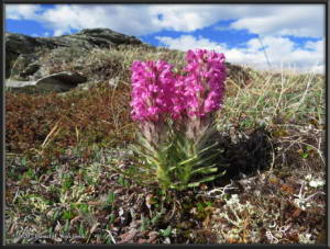 May31_035_EagleSummit_PedicularisLanataRC